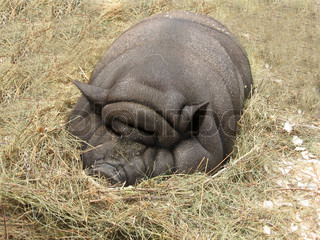 Big thick fat pig sleeps in the hay