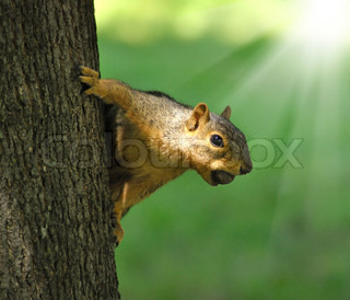 fox squirrel on a tree with a hazelnut