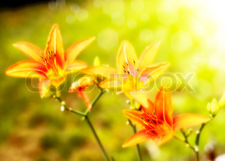 Lilies flowers against a sunlight ,close up
