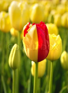 One red tulip among yellow ones