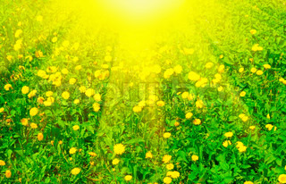Meadow with dandelions in sunny day