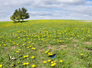 sunny field with yellow dandelion flowers and trees