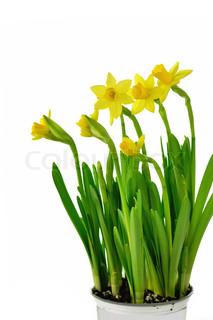 gule påskelilje blomster på en hvid baggrund