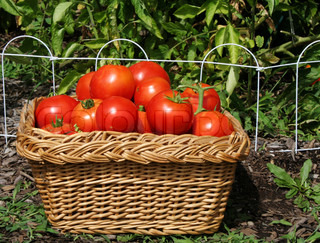 Basket of just picked, ripe tomatoes with tomato plants in background
