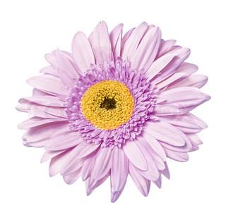 Enkelt blomst gerbera isoleret på den hvide baggrund