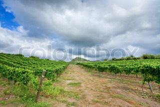 vineyard under grey clouds in wine region Etna, Sicily