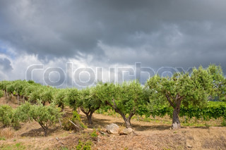 olive garden under grey clouds in wine region Etna, Sicily