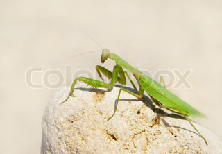 Green mantis.