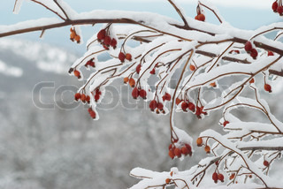 Ice covered red hips in winter forest.