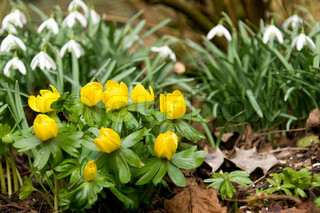 Small group of winter aconite with two groups of snowdrop in the background