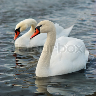 White swans on the water.