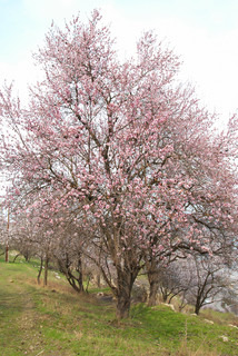 Blooming almond tree with white- pink flowers