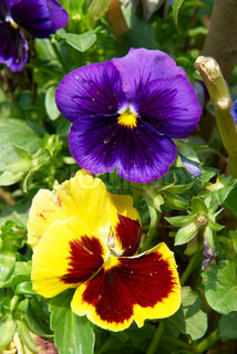 Pansy purple and yellow flowers in the garden