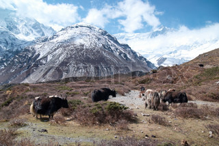 Tibetan landscape with yaks and snow-covered mountains.