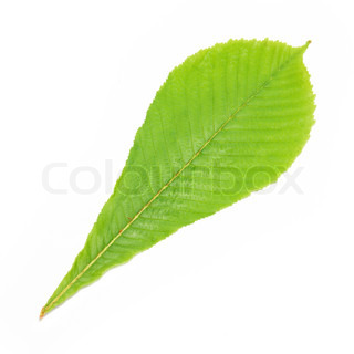 Green chestnut leaf isolated on white background.