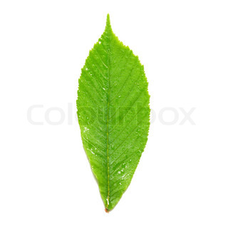 Green wet chestnut leaf isolated on white background