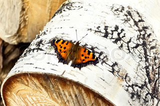 Orange butterfly with black patterns on white background of birch bark