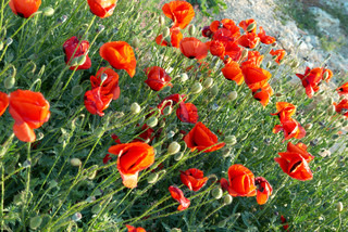 Field of beautiful red poppies with green grass
