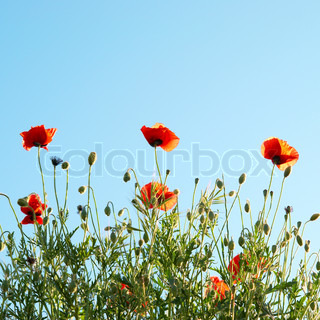 Beautiful red poppies with blue sky background