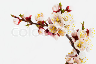 .branch of  tree blossoming by pink colours is isolated