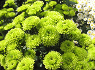 Many small green chrysanthemums. A bright autumn day