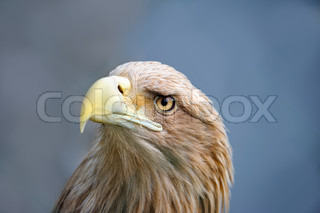 Eagle face in the horizontal composition