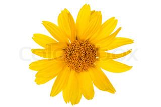 Gul daisy blomster på hvid baggrund