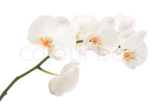 Hvid orkidé isoleret på en hvid baggrund