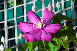 A purple clematis flower in full bloom climbing wall
