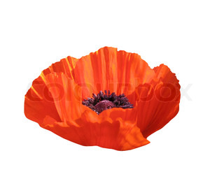 Poppy, isolated on white background