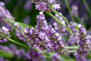 lavender flower - south of france