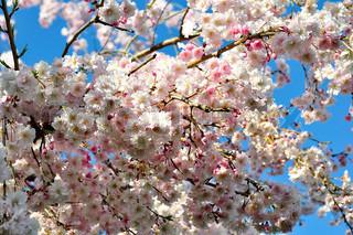 lyserøde kirsebær træ blomster mod en blå himmel