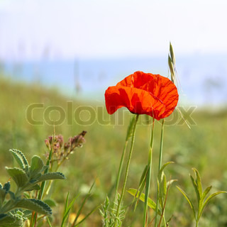 Beautiful red poppy with green grass background