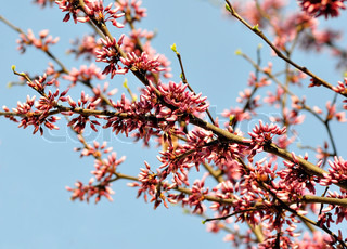 Eastern red bud tree in a spring