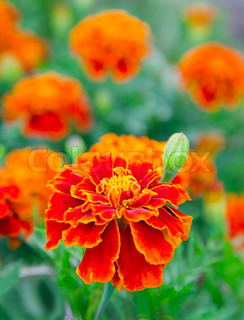 french marigold in a flowerbed, targets patula