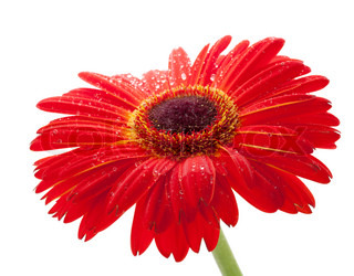 Red gerbera flower with water drops. Closeup. Isolated on white