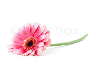 Pink gerbera flower. Isolated on white
