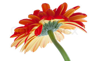 Red gerbera flower. Bottom view. Isolated on white