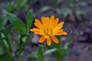 calendula flower growing in the garden