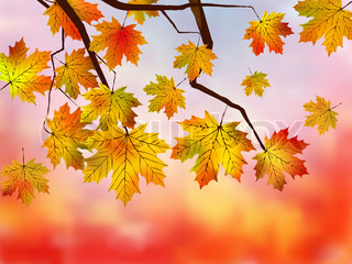 Fall red maple forest background