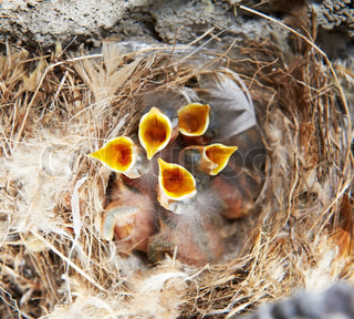 nest and five little nestling with open mouth