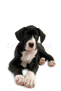 Resting great dane puppy on white background
