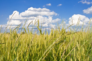 Agricultural landscape of wheat corn field on small scale sustainable farm