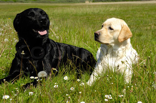 Ein schwarzer und ein weißer Hund auf Gras ruht auf einem heißen Sommertag