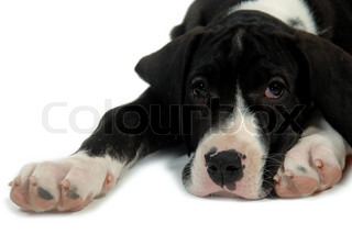 Great Dane puppy is resting on white background