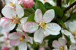 pink color flower of apple-tree with green leaf