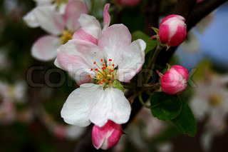 flower of apple-tree of pink color with three bud