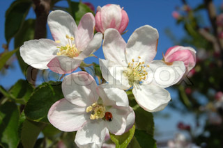 apple-tree flower of pink color on blue sky
