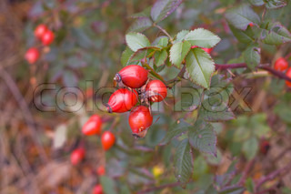ripening red fruit of wild rose on a bush