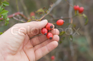 collecting of berries of wild rose by hand